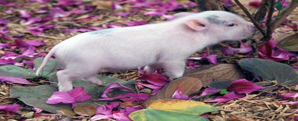New Ray of Life with Teacup Pig